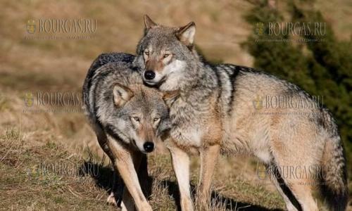 Волки в Болгарии, волки в Бургасской области
