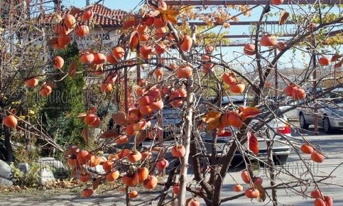 14 ноября 2016 года, Асеновград, райская яблоня в этом году с плодами