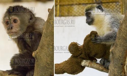 3 ноября 2016 года, Стара Загора, в муниципальном зоопарке появились новые жители - капуцин и зеленая мартышка