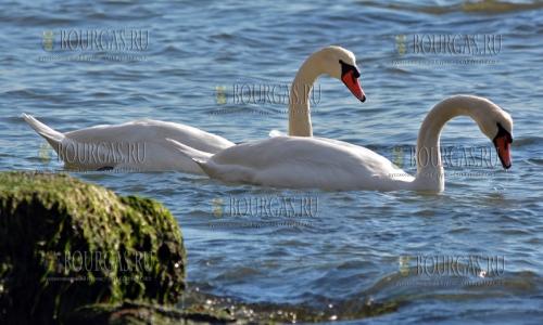 3 ноября 2016 года, Варна, Варненский залив - лебеди на отдыхе