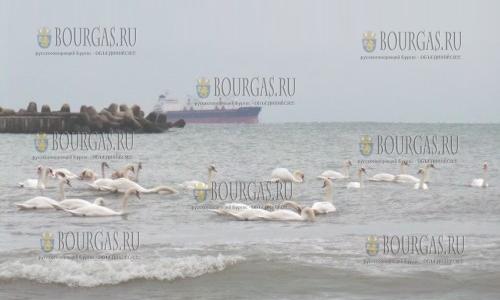 Лебеди в Варне, прибыли из Скандинавии на зимовку