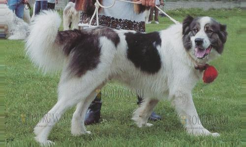 Лучшие болгарские овчарки отправляются на выставку в РФ