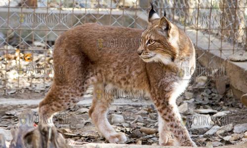 14 декабря, зоопарк Стара Загора, здесь появился новый обитатель - рысь (девочка)