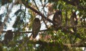 25 декабря, Пловдив, колония ушастых сов зимует прямо в городе, зимуют в Пловдиве