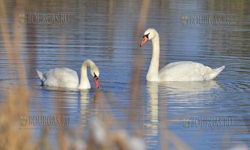 30 ноября, Цар-Калоян, пара лебедей поселилась на небольшой водоеме