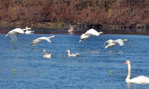 5 декабря, Пловдив, стая из 20 лебедей прилетела на одно из местных озер на зимовку