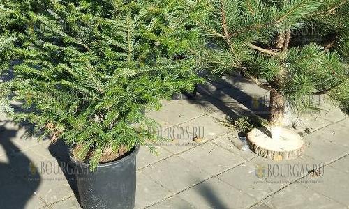 Цены на рождественские елки в Бургасе сегодня кусаются