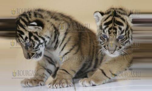 В зоопарке Ловеча появилась парочка уссурийских тигров