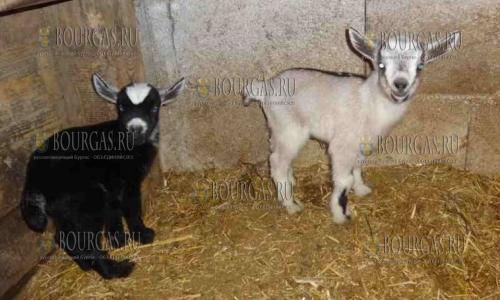 17 января 2017 года, в Варненском зоопарке пополнение - окотилась камерунская коза, приплод две девочки