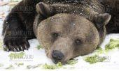 20 января 2017 года, Белица, обитатели парка танцующих медведей впали в спячку, парке танцующих медведей
