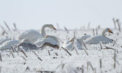 25 января 2017 года, непросто приходится птичьему поговью на зимовке в Болгарии, многие водоемы в стране просто замерзли, январь в Болгарии