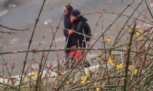 4 января 2017 года, , Морской сад Варны - здесь, не смотря на надвигающиеся морозы, расцвел куст жасмина