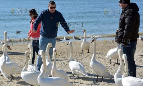17 февраля 2017 года, пляж в Варне, здесь на радость местным жителям и гостям города зимуют лебеди, которые уже совершенно не боятся людей