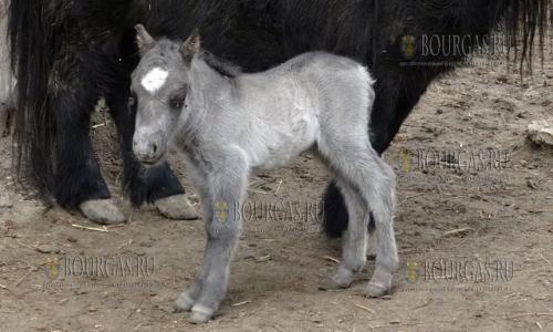 9 февраля 2017 года, зоопарк Варны, здесь на свет появился маленький Шотландский пони