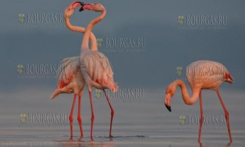 Розовые фламинго зимуют на Атанасовском озере под Бургасом