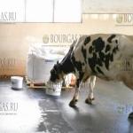 В Болгарии вырастили корову, которая дает рекордные урожаи молока