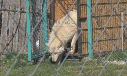 Белые волки в зоопарке Бургаса