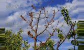 И в этом году заморозки в Кюстендиле практически уничтожили будущий урожай фруктов в этом регионе Болгарии
