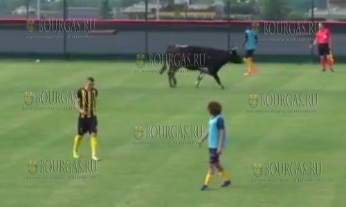 Футбол в Болгарии любят в т.ч. и коровы