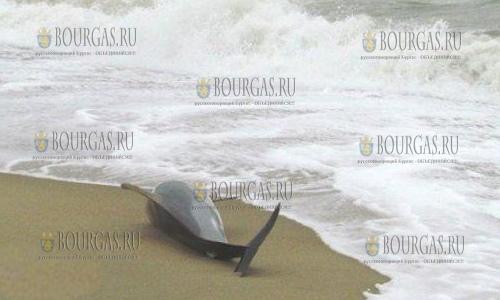 Очередной мертвый дельфин в Бургасе