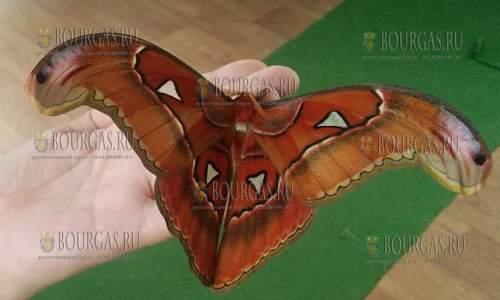 Гиганская бабочка размером с птицу вида Attacus Atlas в Бургасе