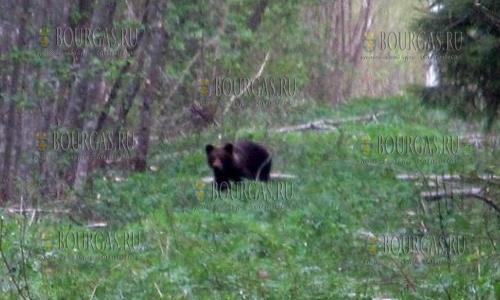 Медведи в Болгарии не только живут, но иногда и шалят