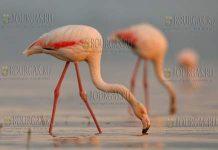 розовые фламинго в Болгарии