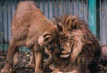 в зоопарке Разграда в Болгарии, львицы Раи и льва Гектора, появится потомство