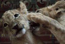 Львята из Болгарии, Тереза и Масуд