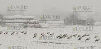 бедствие аистов в Болгарии
