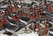 красногрудые гуси в Болгарии