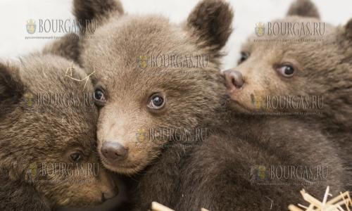 Трех медвежат спасли в Болгарии