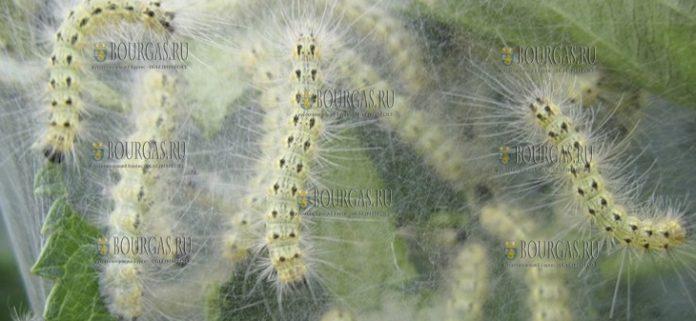 Бургас атакуют гусеницы американской белой бабочки