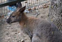 Из зоопарка в Снадански сбежал кенгуру