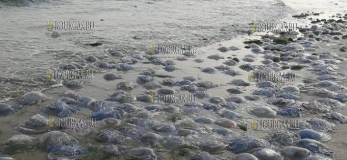 Тысячи мертвых медуз выбросило море в районе Варны