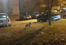 Один из районов болгарского городка Кюстендил оккупировали лисы