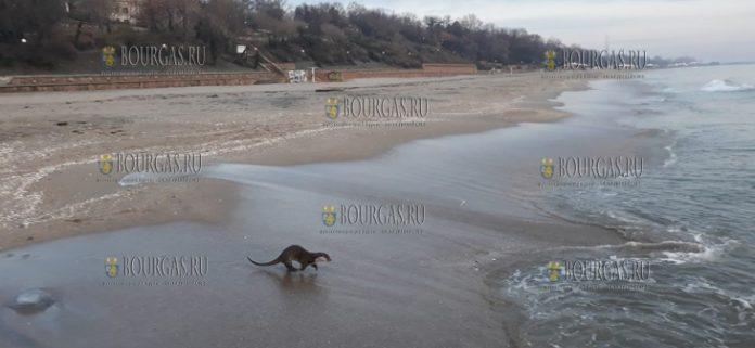 на пляже в Бургасе была замечена выдра