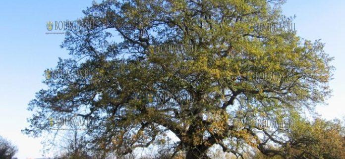 Дуб Трын Европейское дерево года 2019