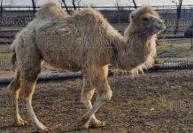 двугорбый верблюд Бейби в зоопарке Бургаса