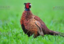 фазан Болгария