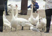 лебеди на пляже в Варне январь 2019, пляж Варны лебеди