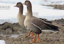 На Бургасское озеро зимует исчезающий вид, малый гусь - Пискулька