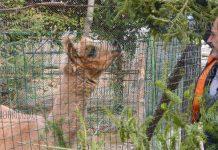 В зоопарк Варны приносят елки