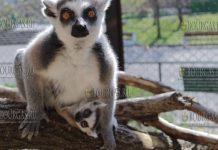 впервые в зоопарке Софии на свет появился кошачий лемур