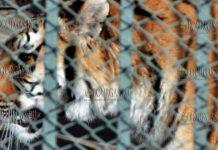 зоопарк Хасково - новый питомец тигрица