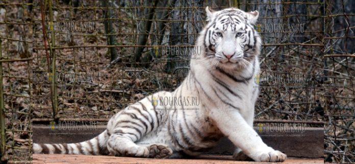 зоопарк Стара Загора - белый тигр