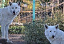 Полярные волки в зоопарке Бургаса