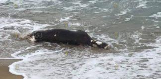 туша коровы в море