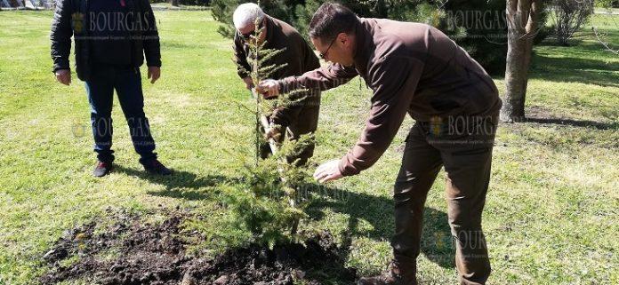 В Бургасе было высажено 15 атласский кедров
