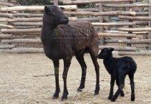 В зоопарке Варны родился муфлон